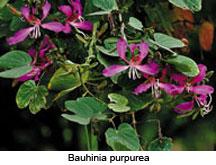 Bauhinia-purpurea