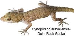 Cyrtopodion-aravallensis-Delhi-Rock-Gecko