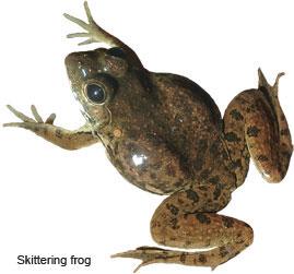 Skittering-frog
