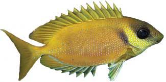 rabbit-fish