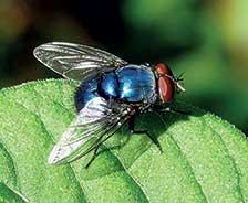 Blue-bottle-fly