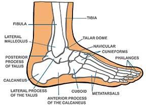 foot-diagram